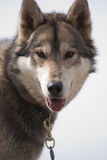 Greenland sledge dog Royalty Free Stock Images