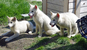 Greenland sledge dog puppies Royalty Free Stock Photography