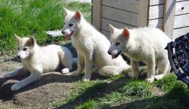 Greenland sledge dog puppies. Three sledge dog puppies, Ilulissat, Greenland Royalty Free Stock Photography