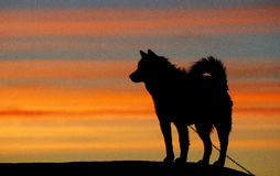 Greenland sledge dog Stock Images
