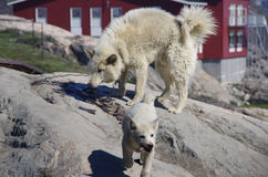 Greenland sledge dogs feeding Royalty Free Stock Photos