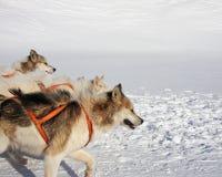 greenlandic έλκηθρο σκυλιών στοκ εικόνα με δικαίωμα ελεύθερης χρήσης