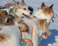 greenlandic έλκηθρο σκυλιών στοκ φωτογραφία με δικαίωμα ελεύθερης χρήσης