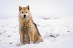 Greenlandic πολική sledding συνεδρίαση σκυλιών στην αλυσίδα στο χιόνι, $sis στοκ εικόνες με δικαίωμα ελεύθερης χρήσης