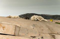 Greenlandic ύπνος σκυλιών κατά τη διάρκεια του καλοκαιριού προκειμένου να αποκτηθεί η δύναμη και δύναμη χρειάζονται το χειμώνα στοκ εικόνα