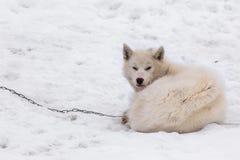 Greenlandic ледовитая sledding собака спать на цепи в снеге, s стоковые изображения rf