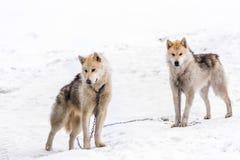 2 greenlandic ледовитых sledding собаки стоя на сигнале тревоги в sn стоковые фотографии rf