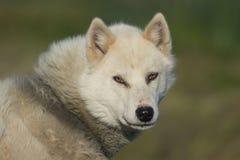 A greenlandic dog in aggressive posture, Sisimiut, Greenland Stock Photo