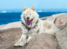 A greenlandic dog in aggressive posture, Sisimiut, Greenland. These breeds are quite different from the huskies I have encountered in Alaska and Svalbard. Less stock images