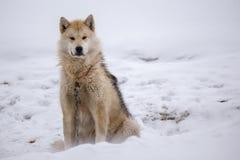 Greenlandic Pelzschlittenhund Lizenzfreies Stockfoto