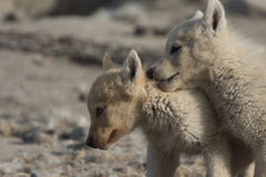 Greenlandic puppies playing in the tundra, Sisimiut, Greenland Stock Images