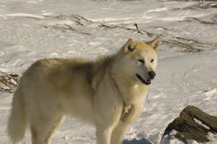 Greenlandic sled dog Royalty Free Stock Image