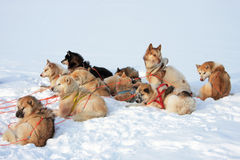 Greenlandic sled dogs Royalty Free Stock Photos