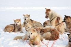 Greenlandic sled dogs stock photos