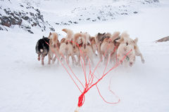 Greenlandic Sled Dogs running. Near Ilulissat - fan formation rather than two by two Royalty Free Stock Photos