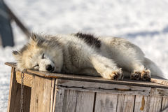Greenlandic sleeping husky Royalty Free Stock Image