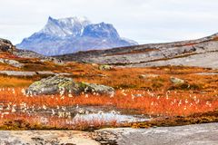 Greenlandic tundra φθινοπώρου εγκαταστάσεις και λουλούδια με Sermitsiaq μ στοκ εικόνες