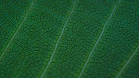 Greenleaf-Aderbeschaffenheit Schließen Sie oben von der Blattbeschaffenheit Lizenzfreie Stockfotografie