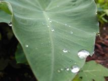 Greenleaf. Raindrop reflection nature natural Royalty Free Stock Photography