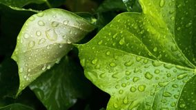 Greenleaf waterdrops. Waterdrops dangle from large greenleaf and overturned otherside second leaf in biege.  seasons weather rain plants spring Grünes blatt royalty free stock photography