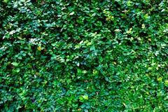 Greenleafonwall Foto de Stock