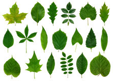 greenleaves Arkivbild