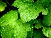 greenleaves Royaltyfri Bild