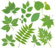 greenleaves royaltyfri fotografi