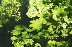 greenleaves Arkivfoton