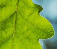greenleaves Fotografering för Bildbyråer
