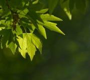 Greenleaves, grund fokus royaltyfria bilder