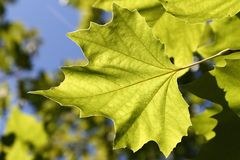 Greenleaves texture Royalty Free Stock Photo