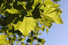 Greenleaves texture Royalty Free Stock Photos