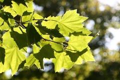 Greenleavestextuur Royalty-vrije Stock Afbeeldingen