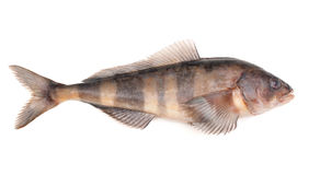 Greenling Stock Image