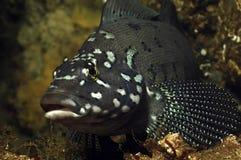 greenling kelp στοκ εικόνες με δικαίωμα ελεύθερης χρήσης