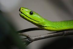 GreenMamba Стоковая Фотография RF