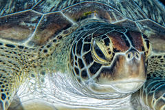 Greenn turtle close up portrait underwater. Green turtle coming to you underwater while diving Royalty Free Stock Photography