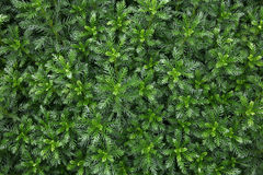 Greenness background. Outdoors photography of green bushes in summer time Royalty Free Stock Photography