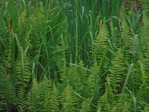 Green grass and green fern royalty free stock photography