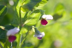 Greenpea blommor Royaltyfria Bilder