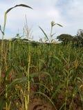 Greenplant Fotografia de Stock