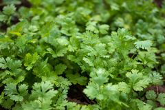 Greens, cilantro. Cilantro, photographed on Earth fresh stock image