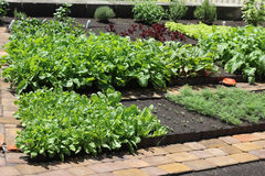 Greens and herbs in the vegetable garden. Lettuce, radishes, parsley in vegetable garden Stock Photo