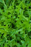 Greens lettuce Stock Photography
