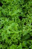 Greens lettuce Stock Image