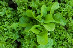 Greens lettuce Royalty Free Stock Photo