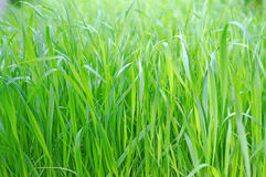 Greens oats closeup as background Royalty Free Stock Image