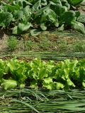 Greens organic. Some types of greens growing together on mixed vegetable bed Royalty Free Stock Photo
