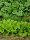 Greens organic. Some types of greens growing together on mixed vegetable bed stock image